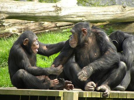 Chimps get handsy