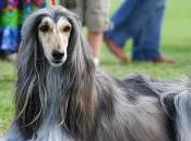 Featured Animal: Afghan Hound