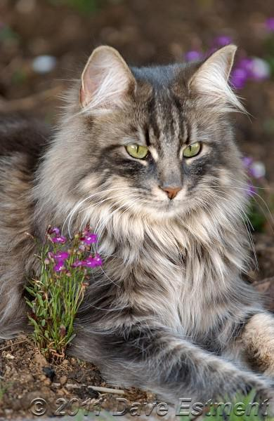 Norwegian Forest Cat (Wegie)