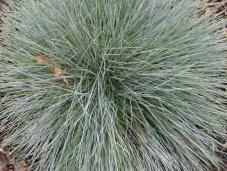 Plant Week: Festuca Glauca
