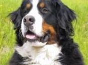 Featured Animal: Bernese Mountain