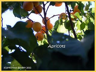 Full Moon and Apricots