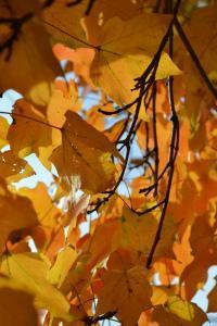 Fall Maple Leaves, photo Susan Katz Miller
