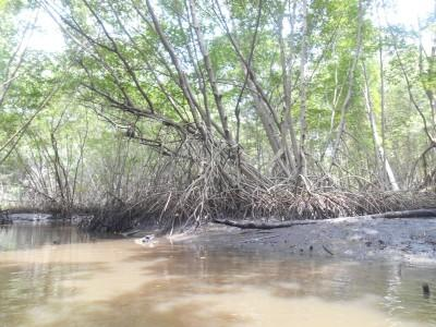 Crocodile infested waters of the Mangrove Forest in El Salvador.