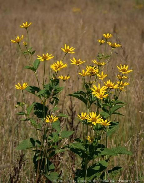 Ox-Eye Sunflower - Heliopsis helianthoides