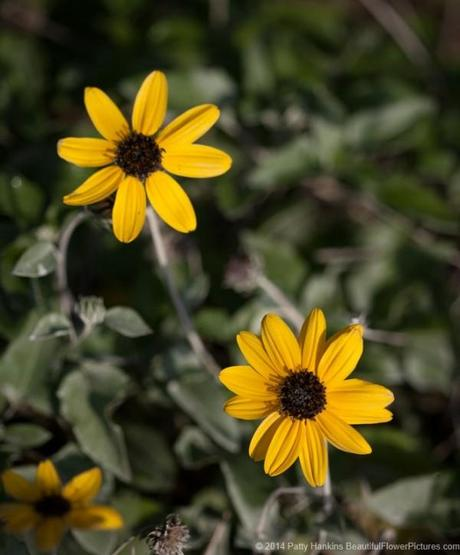 Beach Sunflower - helianthus debilis