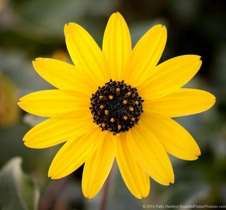Southeastern Sunflower - Helianthus agrestis