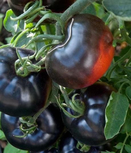 Indigo Rose tomatoes close