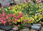 ROCK ROSES Helianthemums