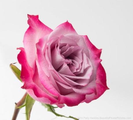 Bicolor Rose photographed under studio lights