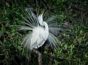 Great Egret Mating Plumage
