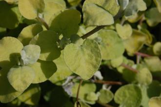 Helichrysum petiolare 'Limelight' Leaf (17/08/2014, Kew Gardens, London)
