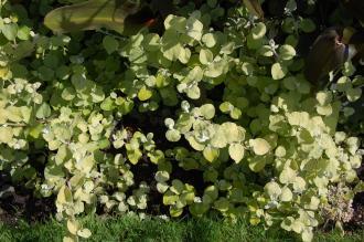 Helichrysum petiolare 'Limelight' (17/08/2014, Kew Gardens, London)