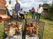 Rehoming Ex-battery Hens