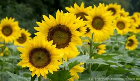 Sunflowers © 2014 Patty Hankins
