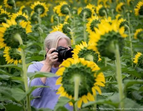 Sunflowers © 2014 Patty Hankins
