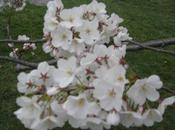 Spring…Summer? Cherry Blossom