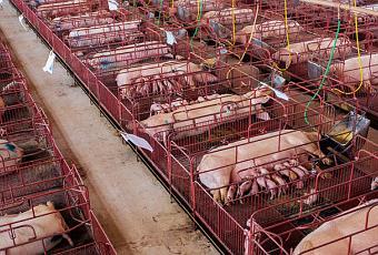 Factory Farm Chickens