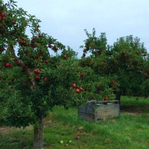 appleorchard2