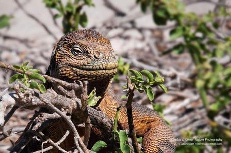 Galapagos-Land-Iguana-2-wL