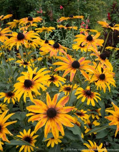 Black Eyed Susans © 2014 Patty Hankins