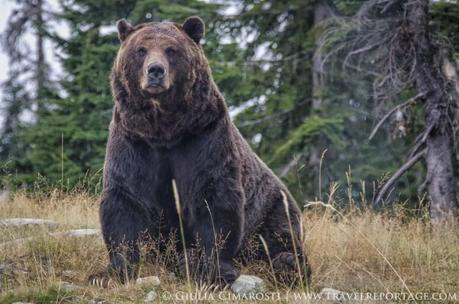 My first encounter with the Grizzly bear: why so serious?