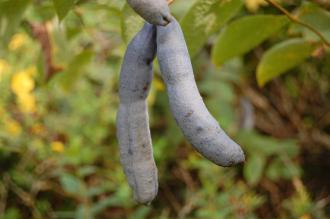 Decaisnea fargesii Pods (28/09/2014, Kew Gardens, London)