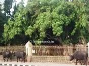 Yuvraj, Murrah Buffalo That Worth Rs.7 Crore