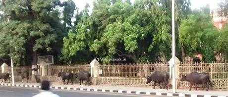 Yuvraj, the murrah buffalo that is worth Rs.7 crore