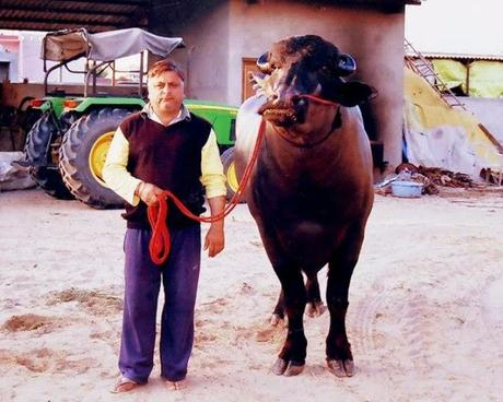 Yuvraj, the murrah buffalo that is worth Rs.7 crore