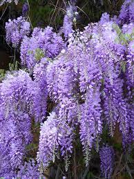 wisteria 6