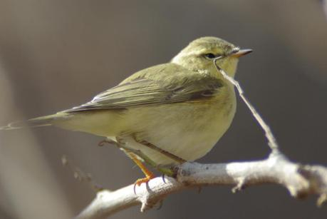 Willow warbler, Finland's most common bird.  Photo by Jari Peltomäki, used with his permission.