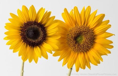 Sunflower in the Studio © 2014 Patty Hankins