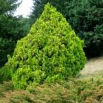 Thuja bush
