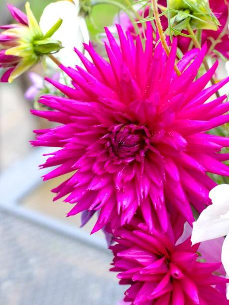 Dahlia-Purple-Gem