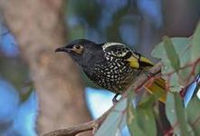 Development could lead to extinction of rare Australian bird