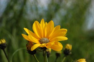 Helianthus salicifolius Flower (28/09/014, Kew Gardens London)