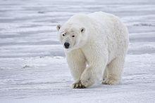Polar Bears Force Halloween Celebration Indoors in Canadian Community