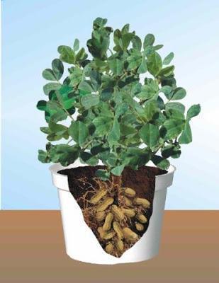 peanutplant