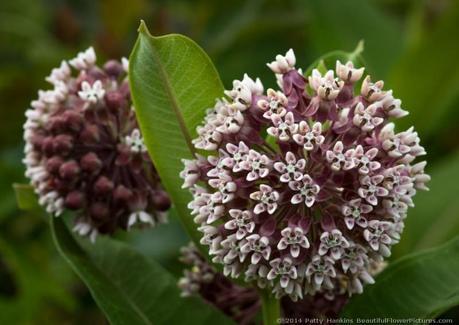 Common Milkweed - asclepias syariaca