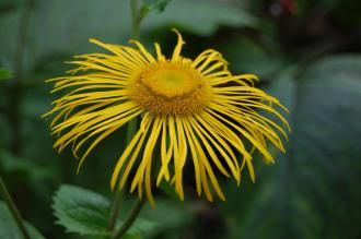 Telekia speciosa Flower (28/09/2014, Kew Gardens, London)