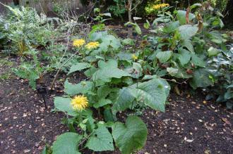 Telekia speciosa (28/09/2014, Kew Gardens, London)