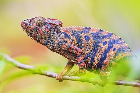 Madagascan Reptiles are Heading Towards the Brink