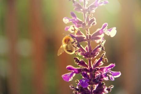 bee on salvia flower