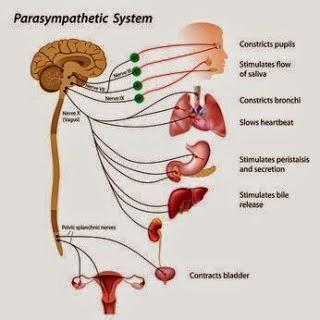 Life-Changer: Understanding Your Autonomic Nervous System