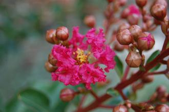 Lagerstroemia 'Tuscarora' Flower (28/09/2014, Kew Gardens, London)