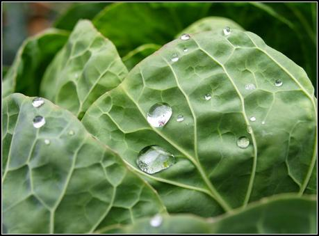 Cabbage Whitefly