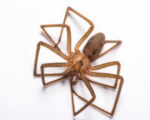 Brown recluse spider photo by PPMA