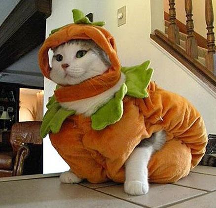 is this a pumpkin cat idk