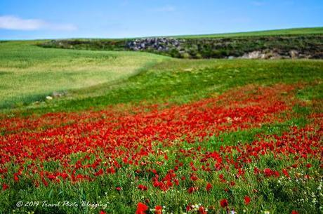 Blood-red poppy of the Camino